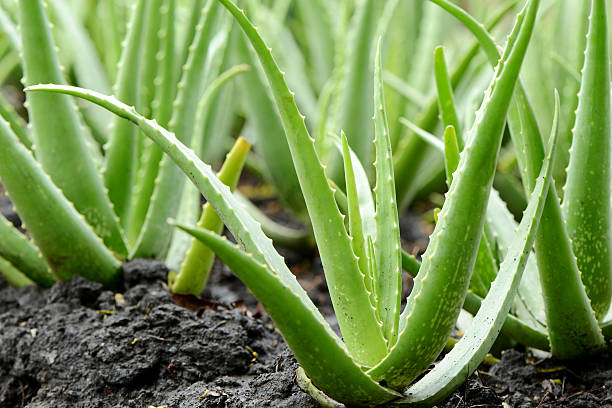 Tattoo removal methods Aloe-vera